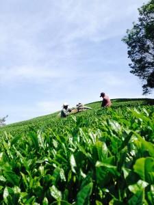 一番茶収穫の様子